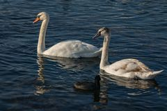 A family of white swans Cygnus olor on the lake in Goryachiy Klyuch. Krasnodar region. Nature concept for design royalty free stock photo