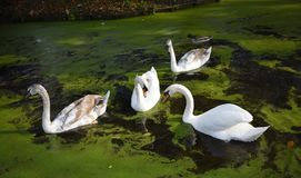 A family of white swans on the lake. A family of white swans swimming in a city lake Royalty Free Stock Photography