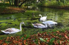 A family of white swans on the lake. A family of white swans swimming in a city lake Royalty Free Stock Images