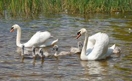 Family of white swans on a lake Royalty Free Stock Image