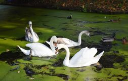A family of white swans on the lake. A family of white swans swimming in a city lake Stock Image