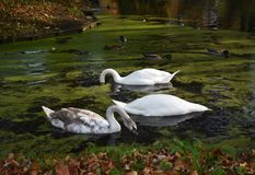 A family of white swans on the lake. A family of white swans swimming in a city lake Stock Photography