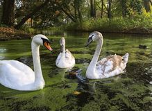 A family of white swans on the lake. A family of white swans swimming in a city lake Stock Photo