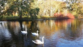 A family of white swans on the lake. A family of white swans swimming in a city lake on an autumn day Stock Images