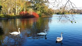 A family of white swans on the lake. A family of white swans swimming in a city lake on an autumn day Royalty Free Stock Photography
