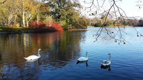 A family of white swans on the lake. A family of white swans swimming in a city lake on an autumn day Royalty Free Stock Image