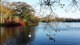 A family of white swans on the lake. A family of white swans swimming in a city lake on an autumn day Stock Photos