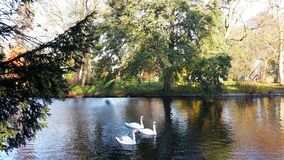 A family of white swans on the lake. A family of white swans swimming in a city lake on an autumn day Stock Image