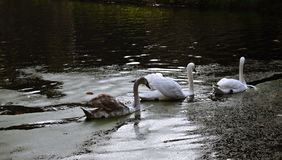 A family of white swans on the lake. A family of white swans swimming in a line in a  city lake Royalty Free Stock Image