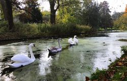 A family of white swans on the lake. A family of white swans swimming in a line in a  city lake Royalty Free Stock Photos