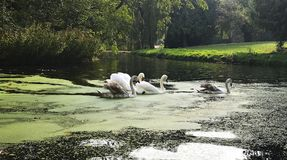 A family of white swans on the lake. A family of white swans swimming in a line in a  city lake Stock Image
