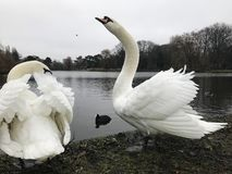 A family of white swans on the shores of a lake. On a winter day Stock Photography