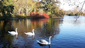 A family of white swans on the lake. A family of white swans swimming in a city lake on an autumn day Royalty Free Stock Images