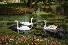 A family of white swans on the lake. A family of white swans swimming in a city lake Royalty Free Stock Image
