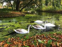 A family of white swans on the lake. A family of white swans swimming in a city lake Royalty Free Stock Photos