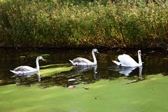 A family of white swans on the lake. A family of white swans swimming in a line in a  city lake Stock Photo