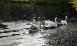 A family of white swans on the lake. A family of white swans swimming in a line in a  city lake Royalty Free Stock Images