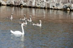 A family of white swans. Swimming in a pond Stock Photo