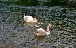 Family of white swans swimming in summer. Royalty Free Stock Images