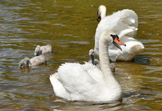 Family of white swans Stock Photography