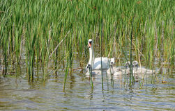 Family of white swans Stock Images