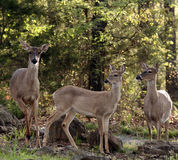 Family of White tail deer. Three white tail does at edge of woods Royalty Free Stock Photos
