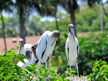 Family of white wood storks in nest in wetlands Stock Photos