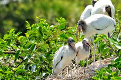 Family of white wood storks in wetlands Stock Photo