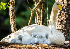 Family of whooper swans. Whooper swan mother taking care of little ones Stock Image