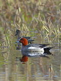 Family wigeons swim in a lake in Siberia. Anas penelope. A pair of Wigeon in the spring, swims in the lake on the Yamal Peninsula Stock Photo