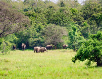 Family of wild asian elephants in nature royalty free stock image