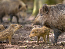 Family Wild Boar Stock Image