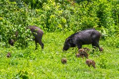 Family of Wild boar(Sus scrofa) Royalty Free Stock Images