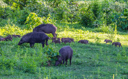Family of Wild boar(Sus scrofa) Royalty Free Stock Photos
