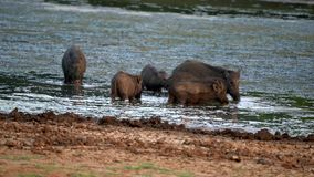 Family of Wild Boars Drink and Eat in Lake stock footage