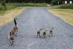 Family of wild ducks walking on a road of rocks Royalty Free Stock Photo