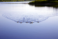 Family of wild duck on beautiful Valguma lake Stock Photos
