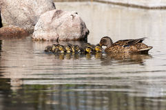 Family of Wild ducks, Anas platyrhynchos. Swimming in a pond. Photo taken in the Garden of Cecilio Rodriguez, Retiro Park, Madrid, Spain Stock Image