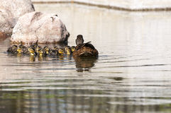 Family of Wild ducks, Anas platyrhynchos. Swimming in a pond. Photo taken in the Garden of Cecilio Rodriguez, Retiro Park, Madrid, Spain Royalty Free Stock Photo