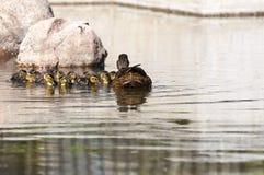 Family of Wild ducks, Anas platyrhynchos Royalty Free Stock Photo