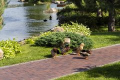 Family of wild ducks in a landscape park. On a stone path Stock Photos