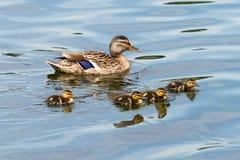 Family of Wild Ducks (Mallard) Stock Photo