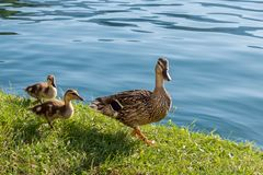 Duck family on the lake, Mom and two kids. Family of wild ducks, quiet walk mom with little kids on the lake royalty free stock photography