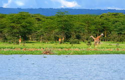 Family of wild giraffes Royalty Free Stock Photos
