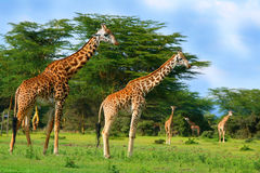 Family of wild giraffes Royalty Free Stock Images