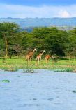 Family of wild giraffes Royalty Free Stock Image