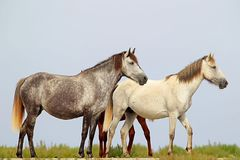 Family of wild horses with foal on the Black Sea coast stock photos