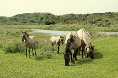 Family of wild horses in the Netherlands. Family of wild horses in the dunes in the Netherlands royalty free stock photography