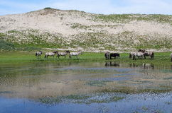 Family of wild horses in the Netherlands Royalty Free Stock Images