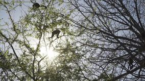 A family of wild Howler monkeys in a tree at sunrise stock video